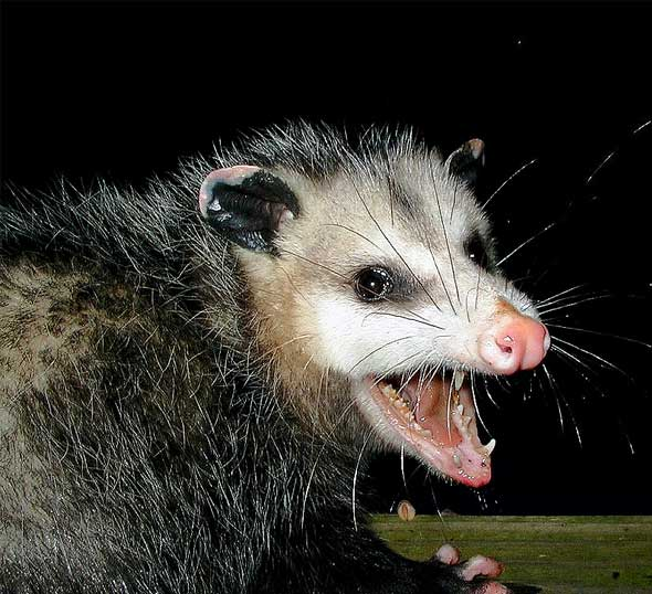 possum1