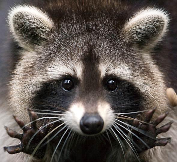 racoon main