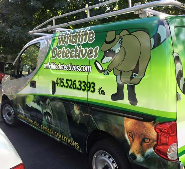 Raccoon removal, skunk removal, wildlife removal Marin County California San Rafael